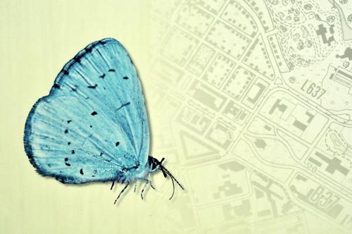 Tagfalter Schmetterling Falter Bläuling Faulbaum-Bläul