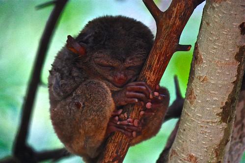 tarsier sleeping