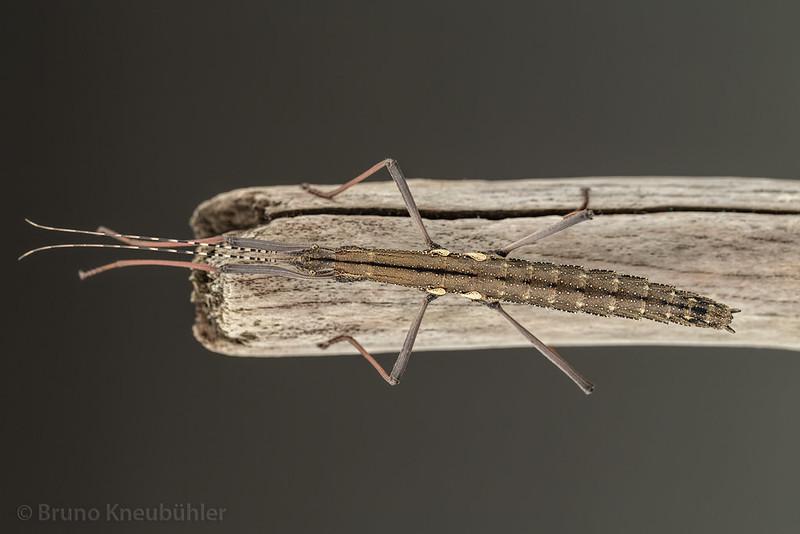 "Pseudophasma sp. ""Bolivia"" - nice, small phasmid species 9518443072_e08c5b0287_c"