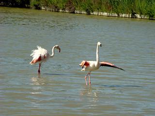 154 flamingo's
