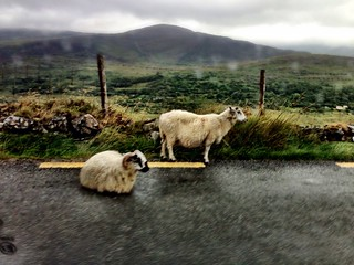 Ring of Kerry sheep
