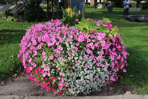 IMG_1229_Flowers_at_Loomis_Park