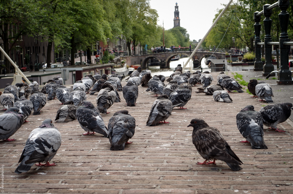 Amsterdam, Pigeons at Haarlemmerdijk