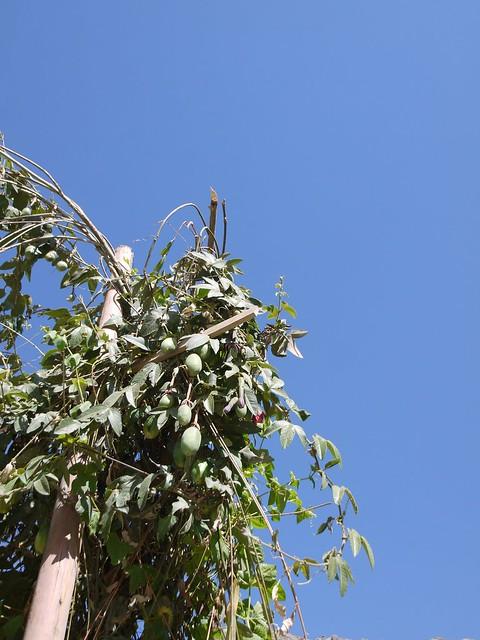 日, 2013-08-18 16:22 - 道端の植物(実は食用になるらしい)