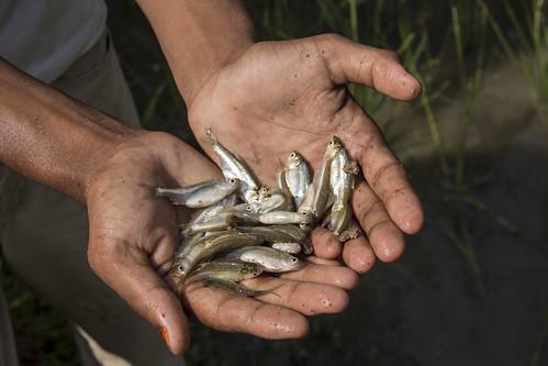 Mola is a micronutrient rich small fish. Rangpur, Bangladesh. Photo by Holly Holmes, 2013.