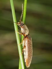 Athous subfuscus (Elateridae) - bräunlicher Laubschnellkäfer