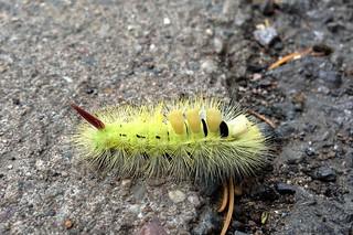 IMG_1935 Pale Tussock Calliteara pudibunda moth Caterpillar  Main Road Inkberrow Worcestershire 01-10-2013