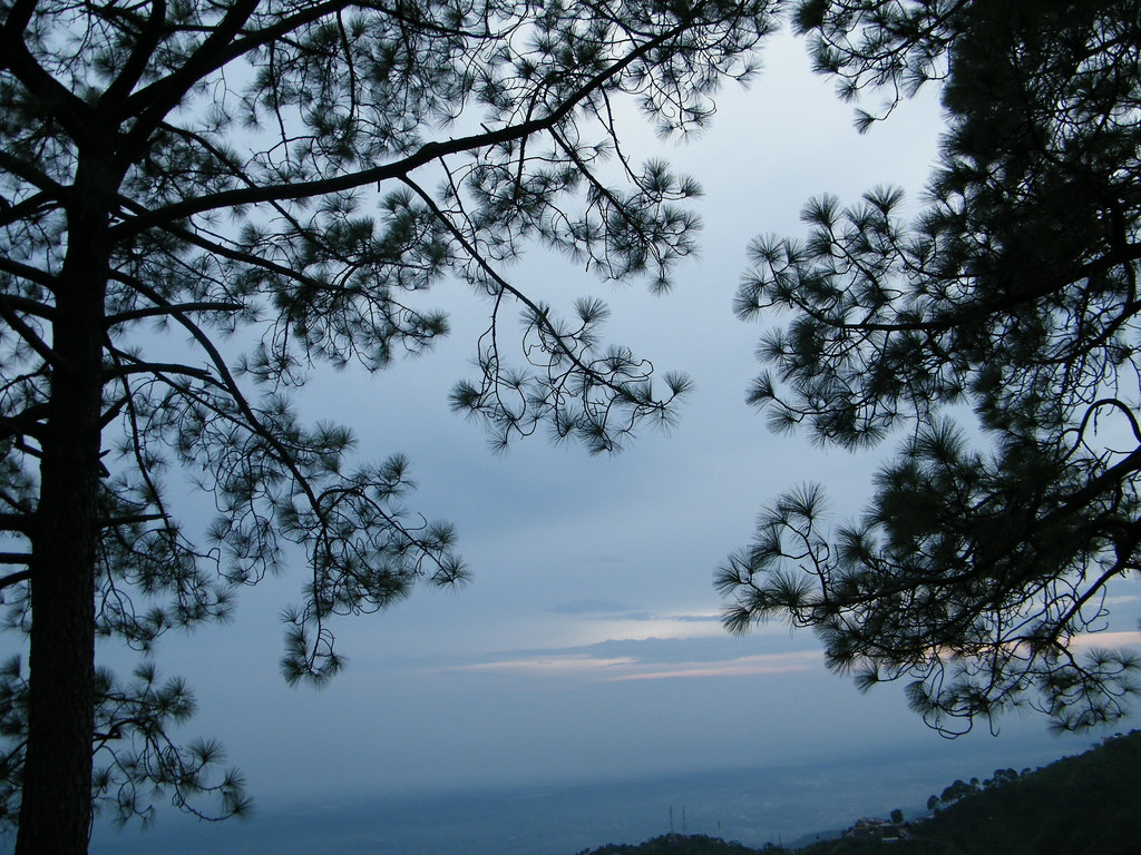trees at sunset-point, kasauli