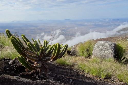 Euphorbia sp. on Mount Ribaue