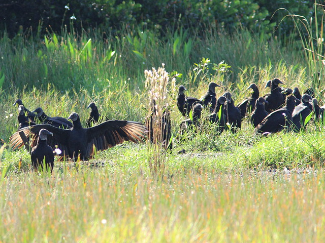 Black Vulture Gathering 20131015