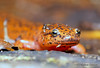 Northern Red Salamander- Pseudotriton ruber (Explored) by MattSullivan