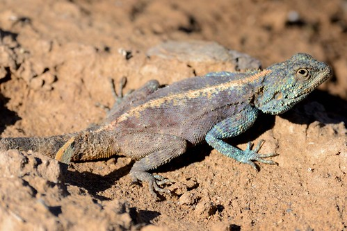 Ground Agama in Sanbona