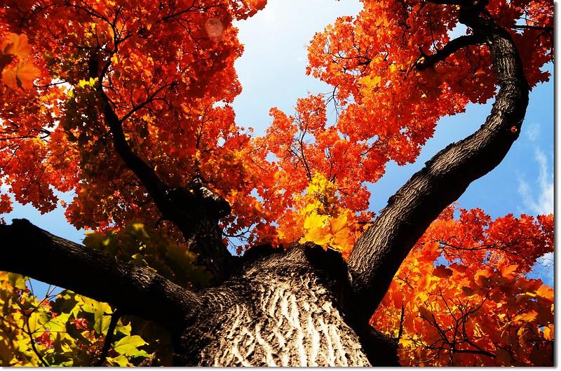 Sugar maple in Fall, Chautauqua, Boulder 3