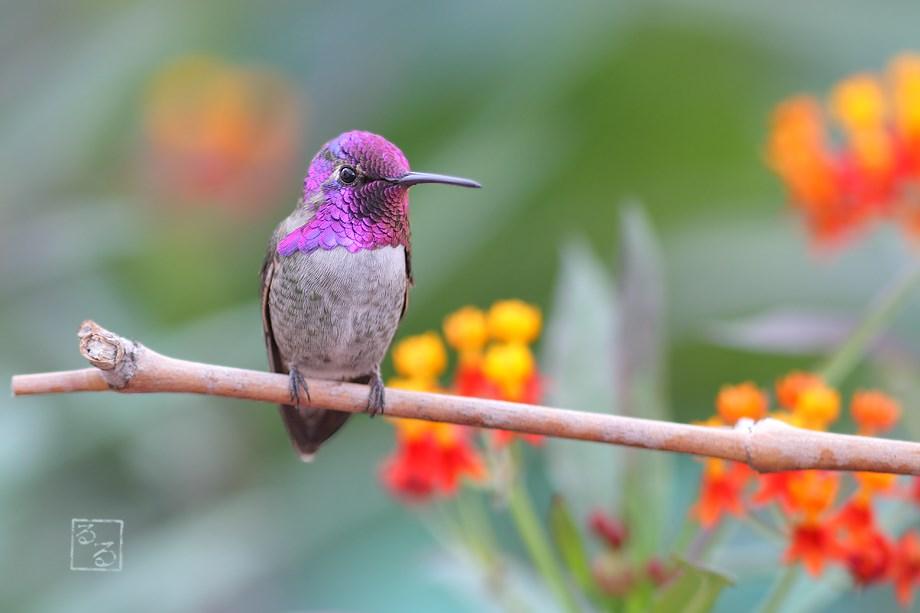 Costa's X Anna's Hybrid Hummingbird 111113
