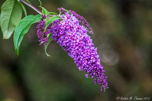 Buddleja in flower