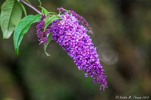 Buddleja in flower