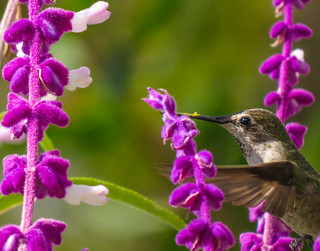 Anna's Hummingbird & Mexican Bush Sage