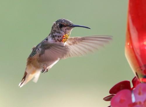 北美洲的蜂鳥。(來源:das_miller)