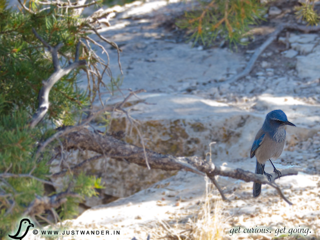 PIC: Birding - Scrub Jay Bird at the Grand Canyon
