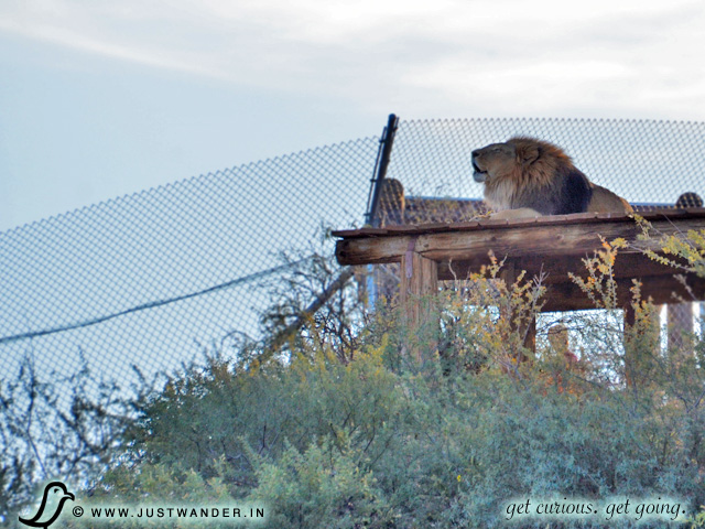 PIC: Out of Africa Wildlife Park - Lion
