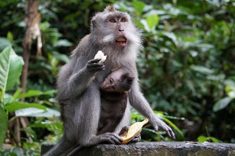 Monkeys in Sacred Monkey Forest Sanctuary in Ubud