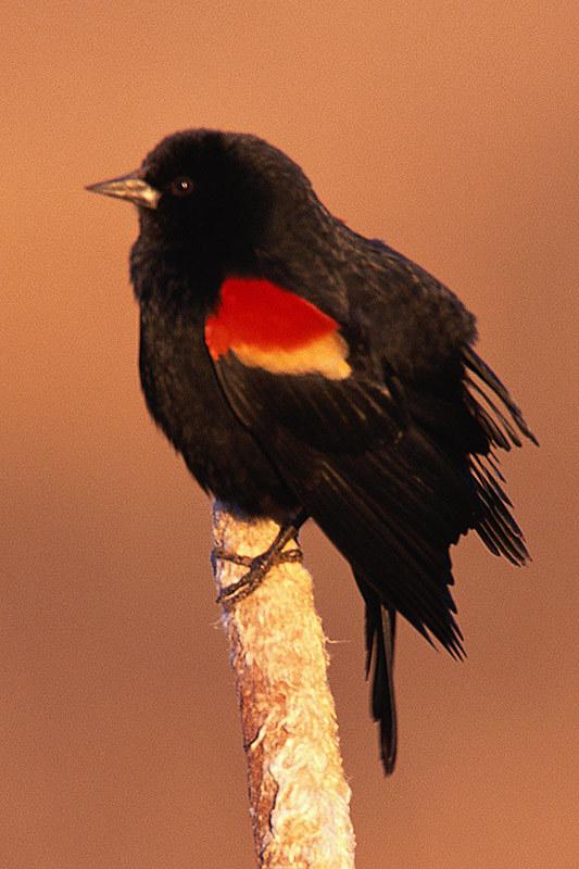 Wildlife in British Columbia, Canada: Red-winged Blackbird