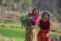 Harvesting green fodder, Uttarakhand, India