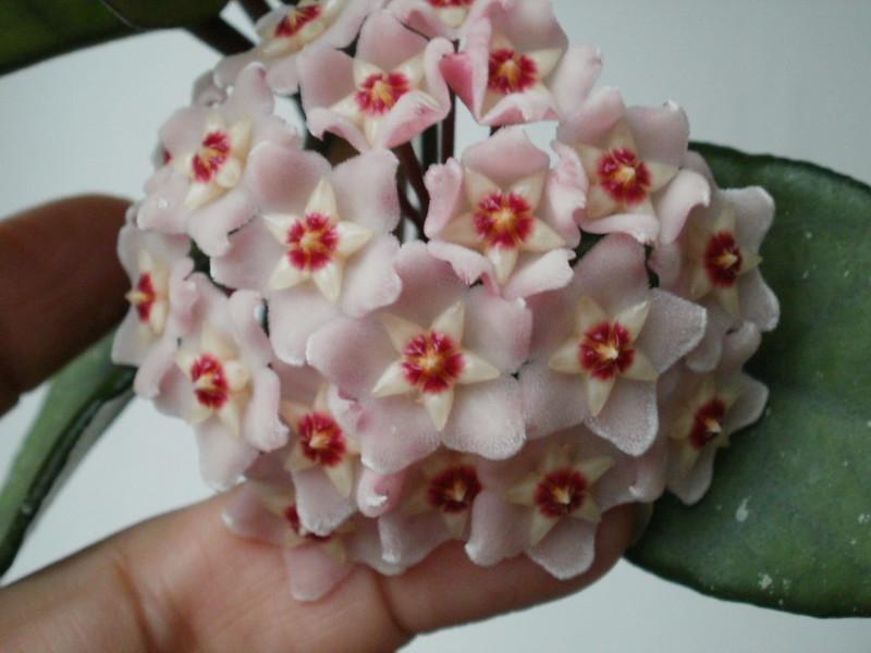 Al fin floreció mi carnosa!!! 12295343885_2f6dc1928f_c