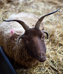 animal, sheeps, sheep, mammal, horn, goats, fauna, close-up, wildlife,