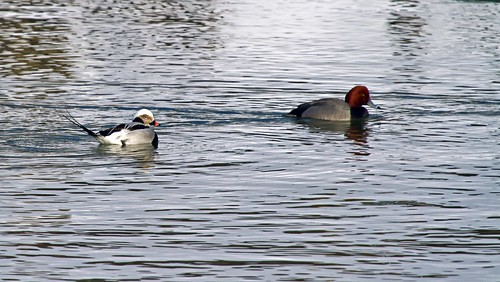 _MG_9993 Long-Tailed Duck & red-Headed Duck