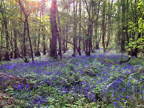 carpet of bluebells, Church Wood