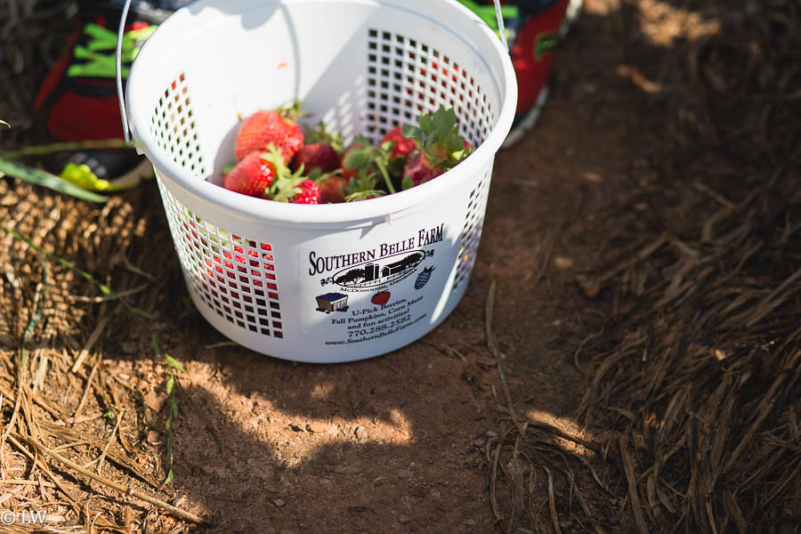 southern belle farm strawberries-13