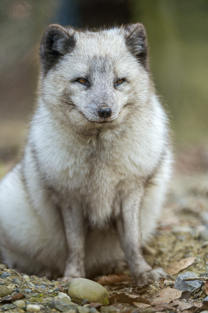 Sitting polar fox