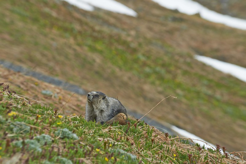 Alaska Marmot - Kenai Fjords National Park