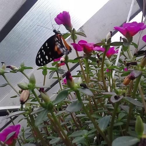 Butterfly amid flowers #princeedwardisland #pei #newglasgow #flowers #butterfly #gardensofhope