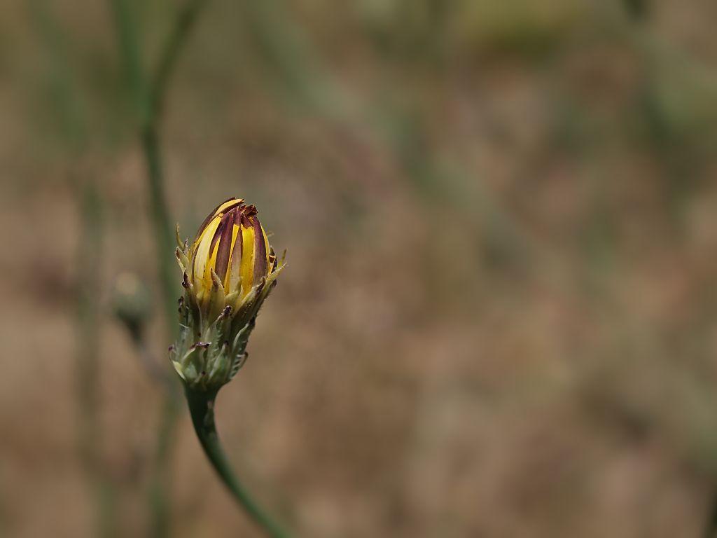 Blütenknospe / Blossom bud