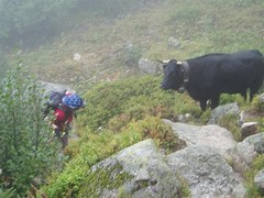 Trying to pass the cows on our way to the top of the Bovine 1987m Image
