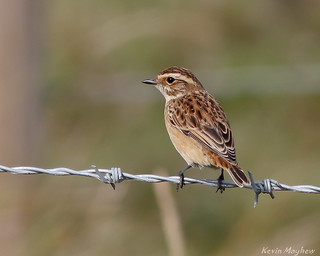 Whinchat(f)-7083