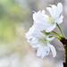 juugatsuzakura_16x16c by takao-bw