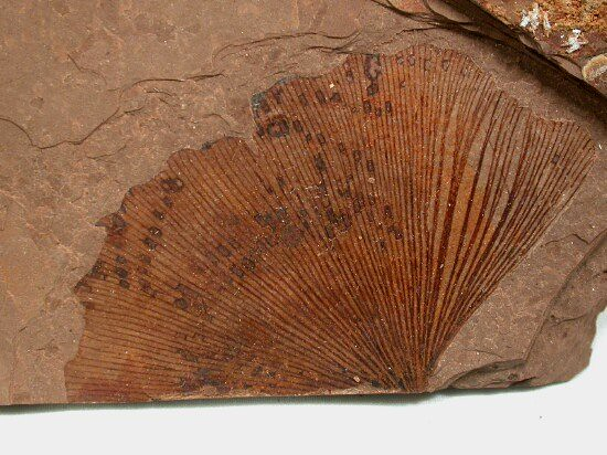 Ginkgo biloba Eocene fossil leaf from the Tranquille Shale of MacAbee, Canada
