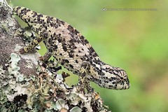 A perfectly disguised flap-necked chameleon (Chamaeleo dilepis) on a branch of a tree covered with lichen. Interestingly, colour change in chameleons is not used primarily for camouflage, but most commonly for social signalling and in reactions to tempera