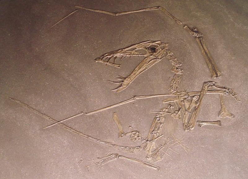A fossil of dorygnathus