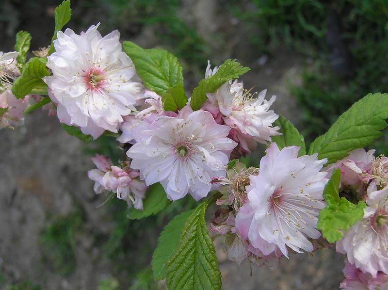榆葉梅 Prunus triloba [鄭州紫荊山公園 Zhengzhou, China]