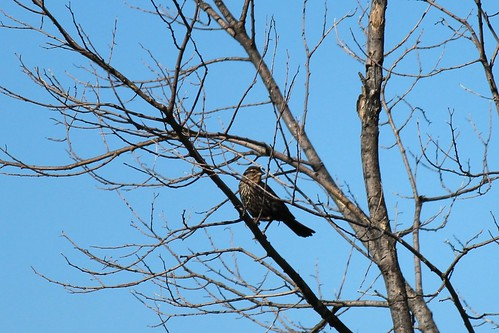 IMG_0546_Female_Red-Winged_Blackbird
