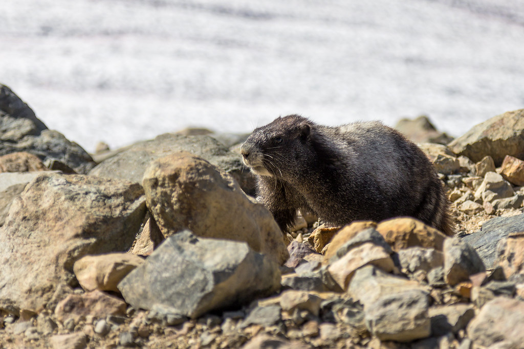A marmot to see us off