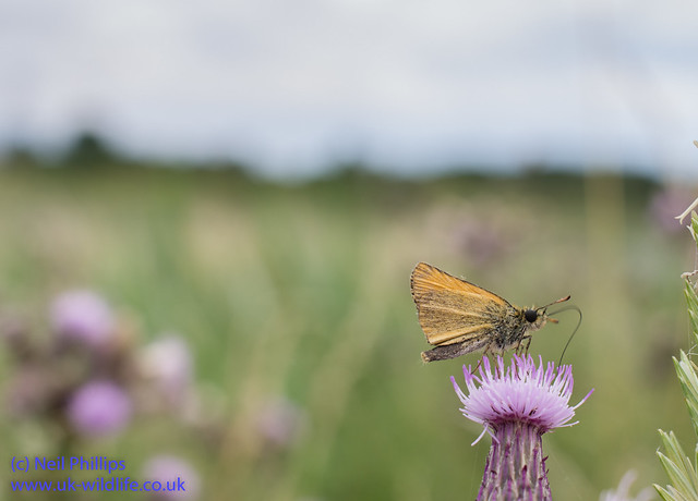 Essex skipper-3