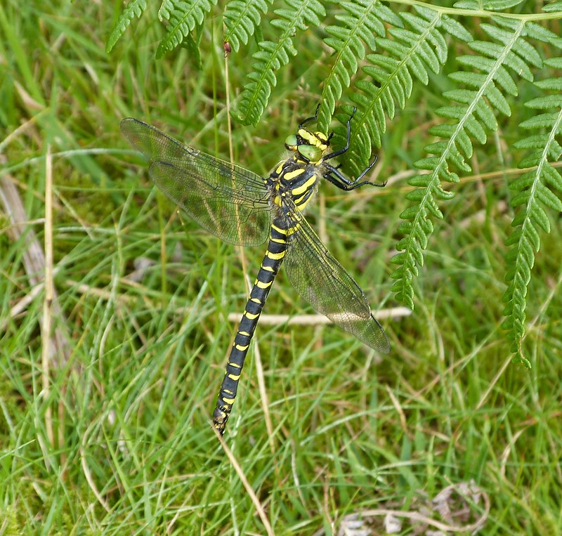 P1050905 - Golden-ringed Dragonfly, Dulais Valley