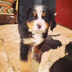 dog breed(1.0), animal(1.0), dog(1.0), pet(1.0), greater swiss mountain dog(1.0), bernese mountain dog(1.0), carnivoran(1.0),
