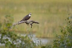 Osprey-42538.jpg by Mully410 * Images