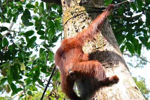 orangutan switching to tree climbing